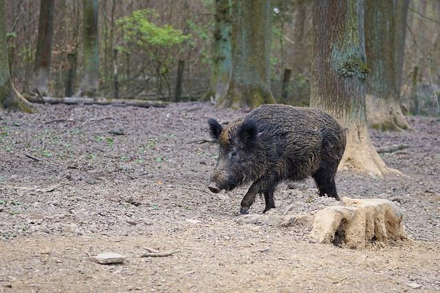 wildunfall-wildschwein-gutachten